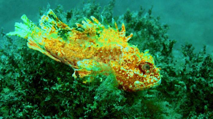 Ерш (скорпена) - подводная жизнь Черного моря