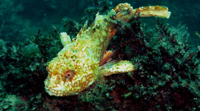 Cкорпена альбинос. Черное море. Севастополь