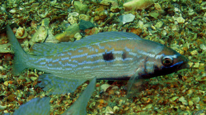 Черноморский морской окунь (смарида)