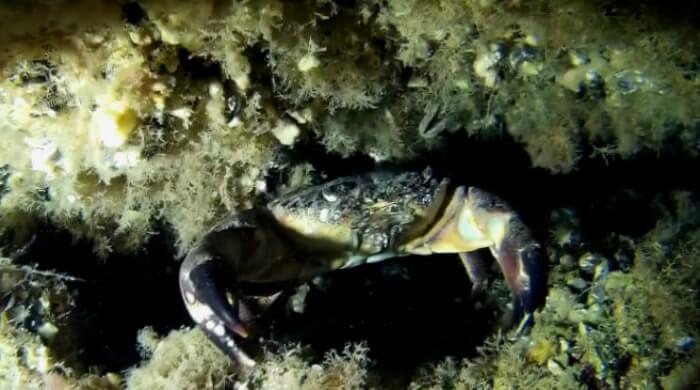 Каменный краб в норе. Черное море, Крым