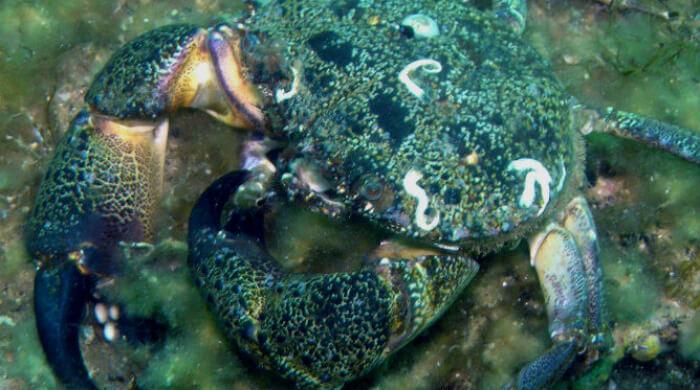 Каменный краб в Черном море - очень вкусный, но очень маленький