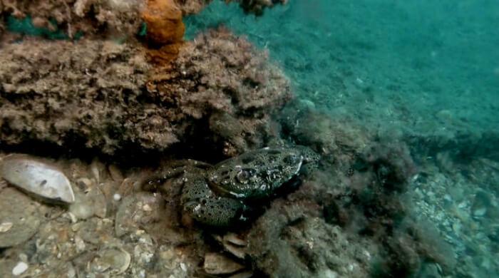 Краб каменный. Черное море, Крым, Севастополь.