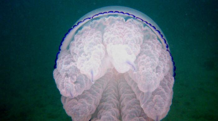 Медуза Корнерот. Черное море, Севастополь