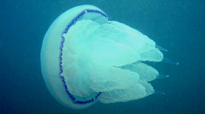 Медуза Корнерот единственная ядовитая медуза Черного моря