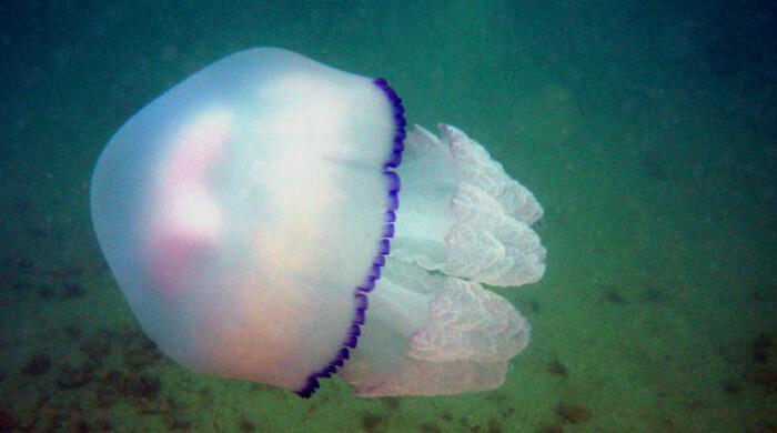 Медуза Корнерот красивая, но ядовитая. Черное море, Крым