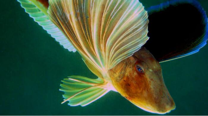 Морской петух - подводный мир Черного моря