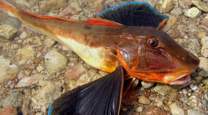 Морской петух - удивительный мир Черного моря