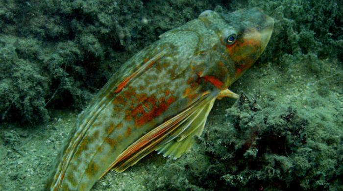Морской петух - жизнь в Черном море