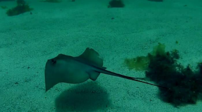 Скат-хвостокол (Морской кот) уходит от погони. Севастополь