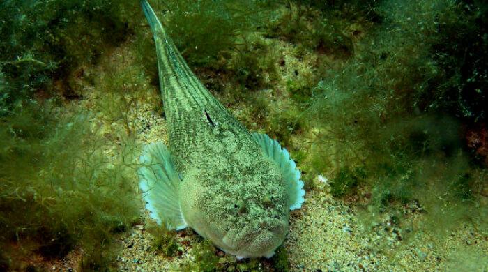 Звездочет - рыбы Черного моря
